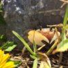 スナガニ (砂蟹) 学名:Ocypode stimpsoni