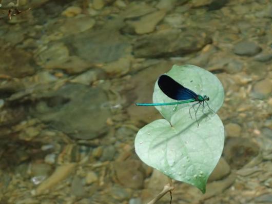 リュウキュウハグロトンボ (琉球羽黒蜻蛉) Matrona basilaris