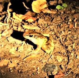 アマミハナサキガエル Odorrana amamiensis (Matsui, 1994)