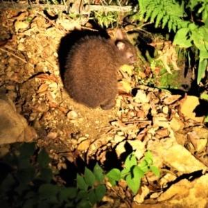 アマミノクロウサギ(奄美野黒兎)Pentalagus furnessi