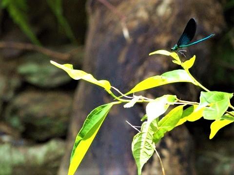 リュウキュウハグロトンボ (琉球羽黒蜻蛉) 雄