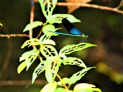 リュウキュウハグロトンボ (琉球羽黒蜻蛉) Matrona basilaris japonica