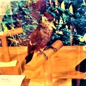 ノグチゲラ (野口啄木鳥) 学名:Sapheopipo noguchii