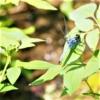 オオシオカラトンボ (大塩辛蜻蛉)Orthetrum triangulare melania (Selys, 1883)