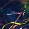 アカナガイトトンボ(赤長糸蜻蛉)Pseudagrion pilidorsum pilidorsum
