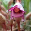 ナンバンギセル(南蛮煙管) 学名:Aeginetia indica