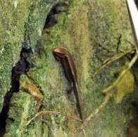 ヘリグロトカゲ 縁黒姫蜥蜴 学名:Ateuchosaurus