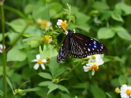 ツマムラサキマダラ 褄紫斑 Euploea mulciber 雌