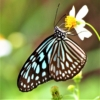 リュウキュウアサギマダラ(琉球浅葱斑)学名:Ideopsis similis