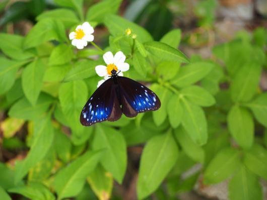 ツマムラサキマダラ 褄紫斑 Euploea mulciber 雄