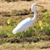 オオダイサギ(学名:Ardea alba alba (Linnaeus, 1758)