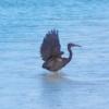 クロサギ 黒鷺 Egretta sacra