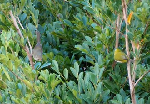 ウグイスとリュウキュウメジロ (琉球目白) Zosterops japonicus loochooensis