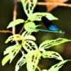 リュウキュウハグロトンボの雌 (琉球羽黒蜻蛉) Matrona basilaris japonica