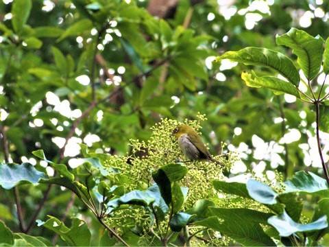 リュウキュウメジロ (琉球目白) Zosterops japonicus loochooensis