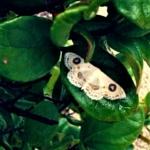 フタツメオオシロヒメシャク (二眼大白姫勺) Problepsis albidior matsumurai Prout, 1938