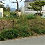 沖縄 家畜 山羊