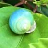 アオミオカタニシ(青身陸田螺) 学名:Leptopoma nitidum)