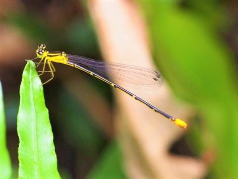 トンボ(瑠璃紋蜻蛉) Coeliccia ryukyuensis ryukyuensis Asahina 雌
