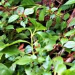 アリサンミズ 学名:Pilea aquarum var. brevicornuta