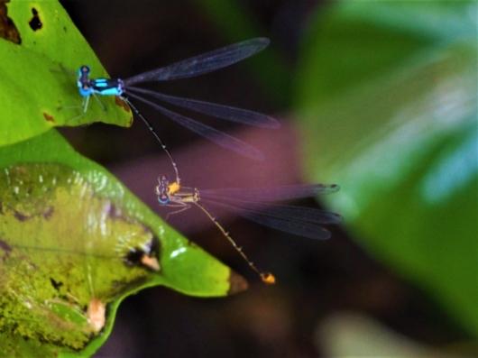 リュウキュウルリモントンボ(瑠璃紋蜻蛉) Coeliccia ryukyuensis ryukyuensis Asahina 雄と雌