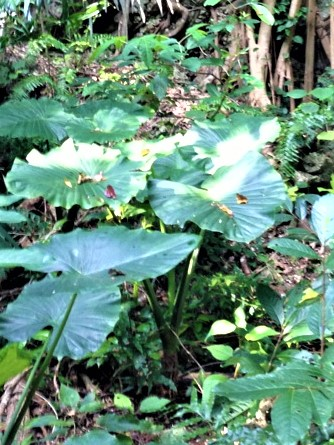 クワズイモ  学名:Alocasia odora
