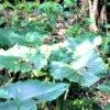 トトロが頭に乗せていた葉っぱ☆クワズイモ  学名:Alocasia odora