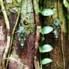オオシマゼミ (大島蝉)学名:Meimuna. oshimensis (Matsumura, 1905)