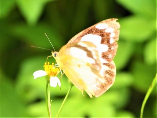 ナミエシロチョウ(浪江白蝶) Appias paulina 雄