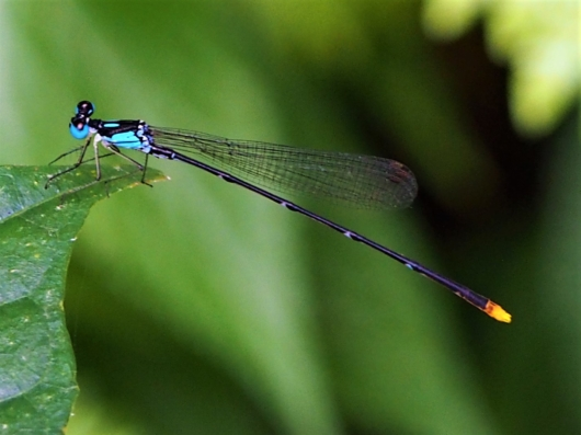 リュウキュウルリモントンボ(瑠璃紋蜻蛉) 学名:Coeliccia ryukyuensis ryukyuensis Asahina