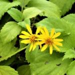 キダチハマグルマ(木立浜車)学名:Melanthera biflora