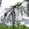 トクサバモクマオウ(学名: Casuarina equisetifolia)