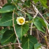 サキシマハマボウ(先島浜朴)学名:Thespesia populnea (L. ) Sol ex Correa