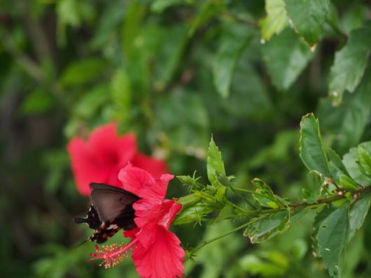 モンキアゲハ 紋黄揚羽 Papilio helenus the red helen