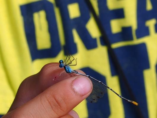 リュウキュウルリモントンボ(瑠璃紋蜻蛉) Coeliccia ryukyuensis ryukyuensis Asahina 雄