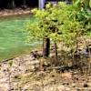 マングローブ植物☆ヒルギダマシ(蛭木騙し)学名:Avicennia marina