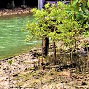 ヒルギダマシ(蛭木騙し)Avicennia marina