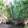 西表島が北限の超希少種☆ニッパヤシ(水椰子)学名:Nypa fruticans Wurmb