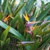 ゴクラクチョウカ(極楽鳥花)又はストレリチア 学名:Strelitzia reginae