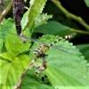 アマミサナエ(奄美早苗)学名:Asiagomphus amamiensis