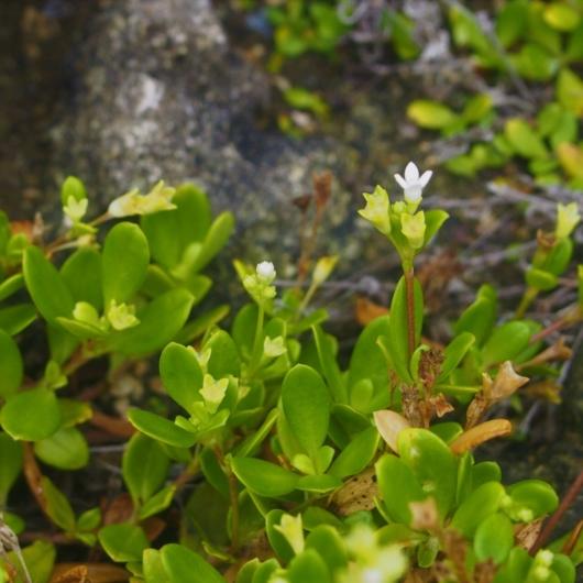 ソナレムグラ(磯馴葎) 学名:Hedyotis strigulosavar.parvifolia