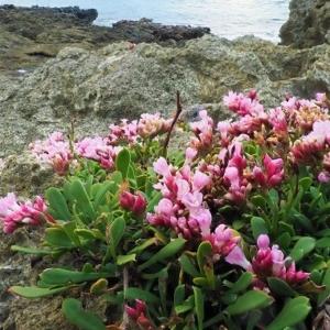 イソマツ(磯松) 学名:Limonium wrightiivar.arbusculum