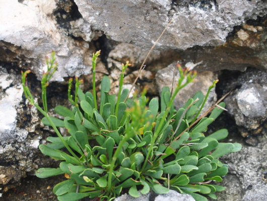 ウコンイソマツ(鬱金磯松) 学名:Limonium wrightii
