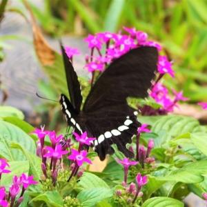 シロオビアゲハ(白帯揚羽)の雄 学名:Papilio polytes