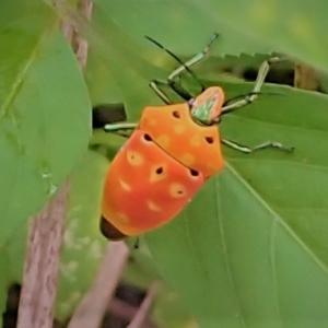 アカギカメムシ (赤木亀虫)Cantao ocellatus