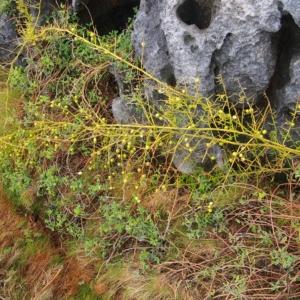 クサスギカズラ(草杉蔓)学名:Asparagus cochinchinensis (Lour.) Merr.