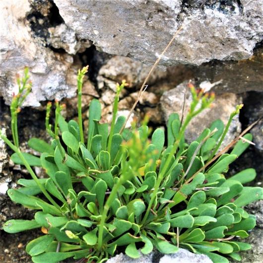 ウコンイソマツ(鬱金磯松)学名:Limonium wrightii