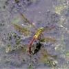 リュウキュウギンヤンマ(琉球銀蜻蜓)雌 学名:Anax panybeus