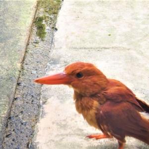 リュウキュウアカショウビン(琉球赤翡翠) 学名: Halcyon coromanda bangsi