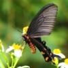 ジャコウアゲハ(麝香揚羽) 学名: Atrophaneura alcinous loochooana (Rothschild, 1896)ジャコウアゲハ奄美沖縄亜種